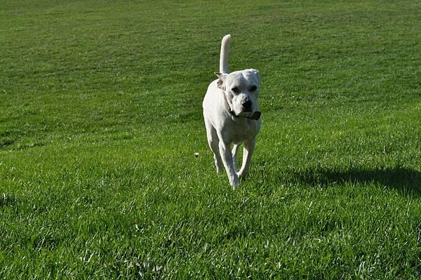小狗赤腳跑步
