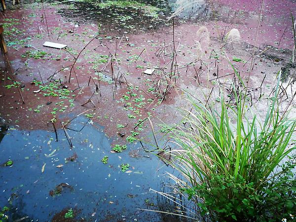 季後荷花池之芒草