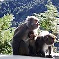 獼猴老母和猴孩兒