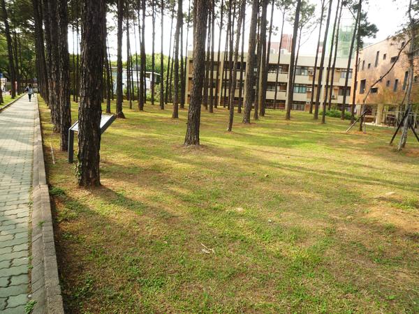 木淑館前松樹林