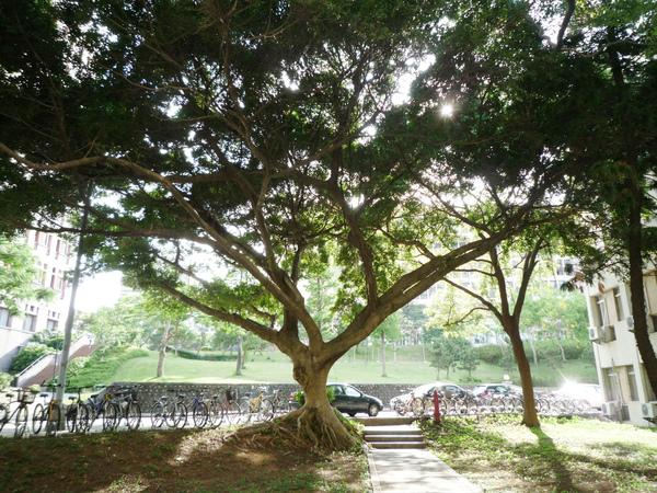 八舍前老樹