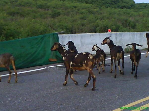 羊群路上跑.JPG
