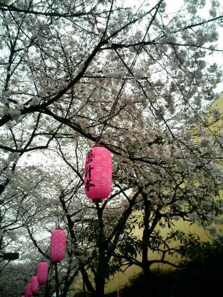 櫻花+燈籠