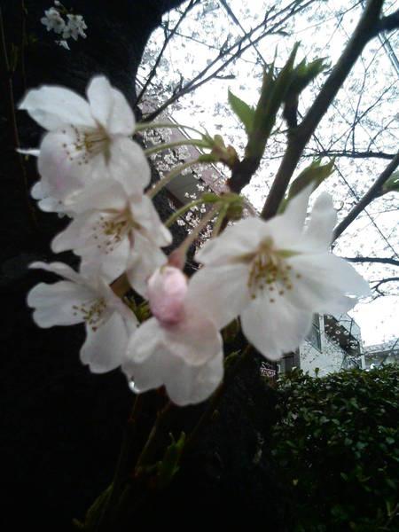 放大的櫻花照