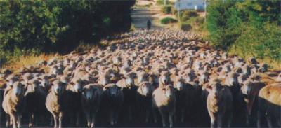 Tasmania羊群