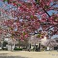 公園的櫻花