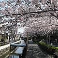 河堤旁的櫻花