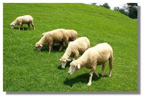 青青草原內的綿羊