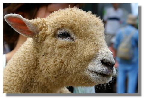青青草原內的小綿羊