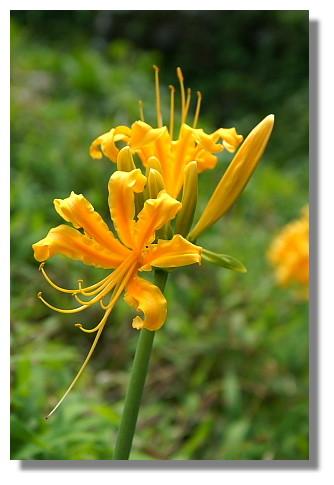 基隆嶼上稀有的金花石蒜