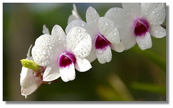 新加坡拍的蘭花