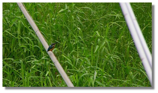 台南關子嶺溪邊的翠鳥