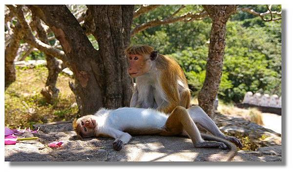 丹布拉石窟廟(Dambulla Cave Temples)外的猴群