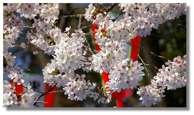 上野恩賜公園櫻花