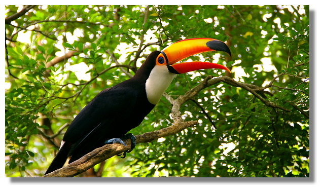 新竹綠世界生態農場大嘴鳥