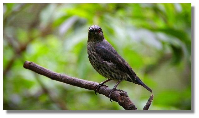 新竹綠世界生態農場菲律賓輝椋鳥