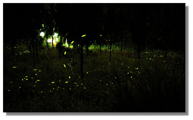 新竹內灣螢火蟲