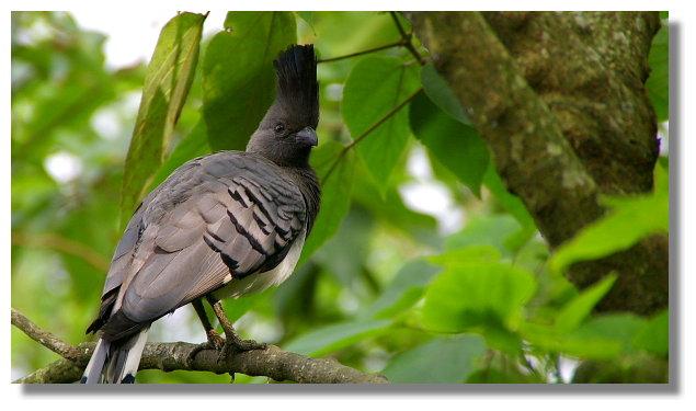 新竹綠世界生態農場白腹僧帽鳥