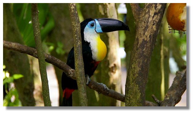 新竹綠世界生態農場藍面巨嘴鳥