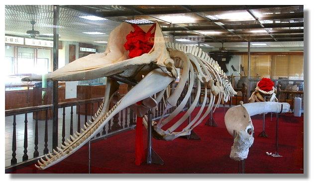台南四草大眾廟旁的抹香鯨陳列館