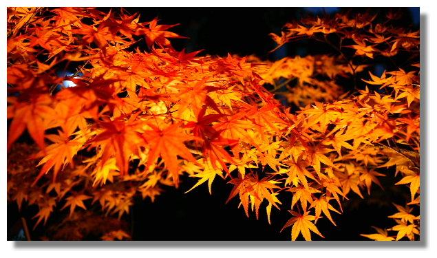 京都永觀堂夜楓