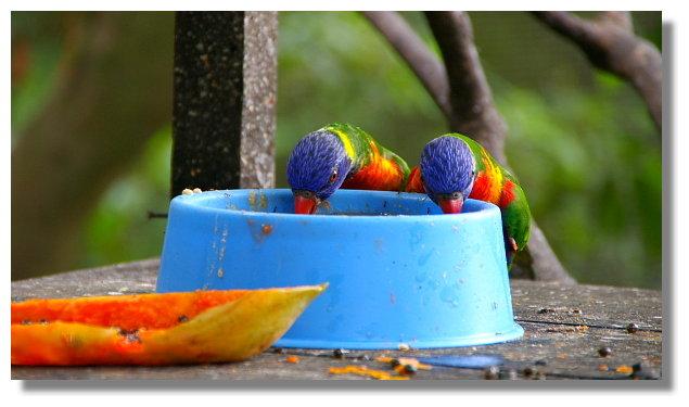 新竹綠世界生態農場虹彩吸蜜鸚鵡