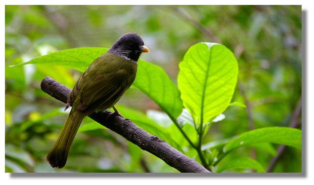 新竹綠世界生態農場白環鸚嘴鵯