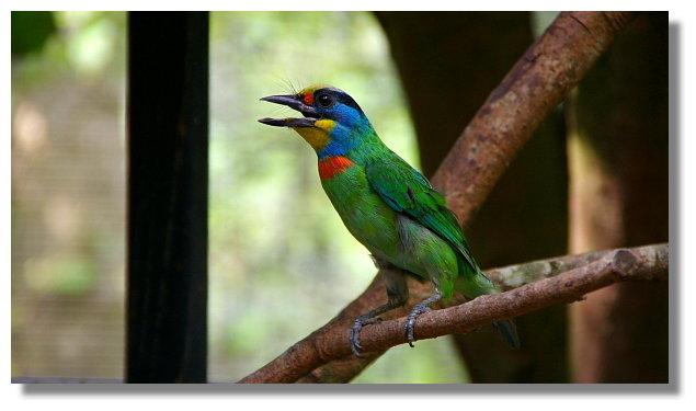 新竹綠世界生態農場五色鳥