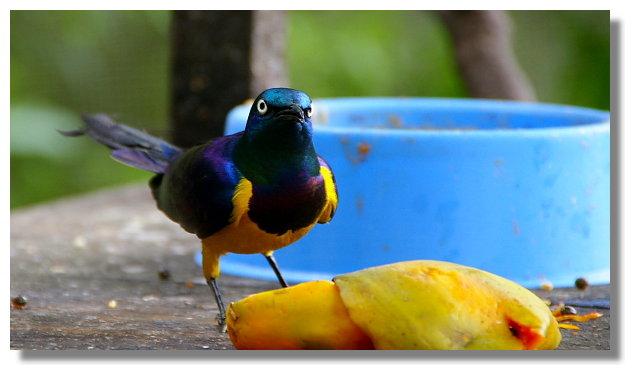 新竹綠世界生態農場金胸椋鳥