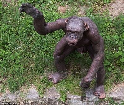 """印度動物園現無毛黑猩猩 因患有""""斑禿症""""02.jpg"""