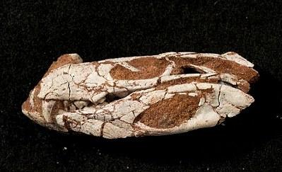 貓鱷魚 化石3.jpg