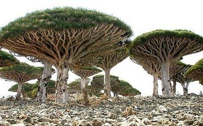 8000歲龍血樹3.jpg