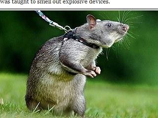非洲 探雷鼠1.jpg