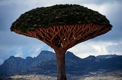 8000歲龍血樹4.jpg