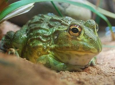 地獄來的非洲牛蛙2.jpg