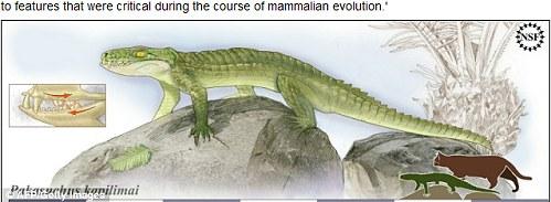貓鱷魚 化石2.jpg