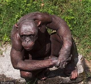"""印度動物園現無毛黑猩猩 因患有""""斑禿症""""01.jpg"""
