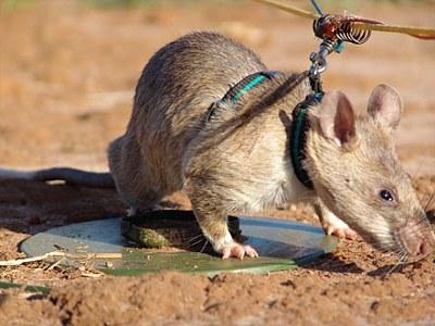 非洲 探雷鼠4.jpg
