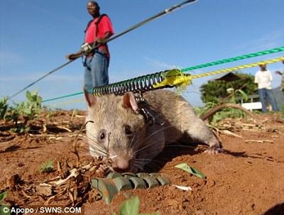 非洲 探雷鼠2.jpg