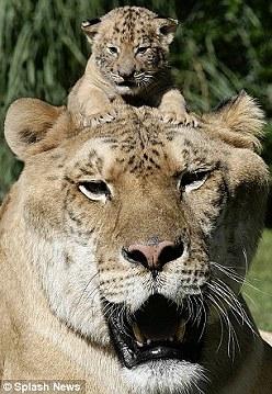 世界最大「獅虎獸」兄弟在美國亮相2.jpg