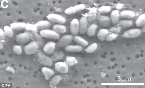 吃砷的細菌 - 吃砷(砒霜)的細菌2.jpg