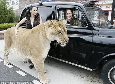 世界最大「獅虎獸」兄弟在美國亮相1.jpg