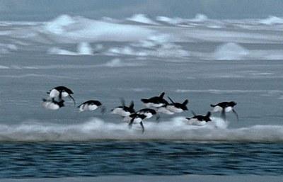會飛的企鵝3.jpg
