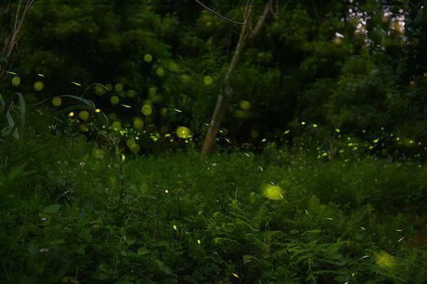 【五月賞螢、油桐花季】夏天旅遊景點,只要抓準時機,到哪都好玩4.jpg
