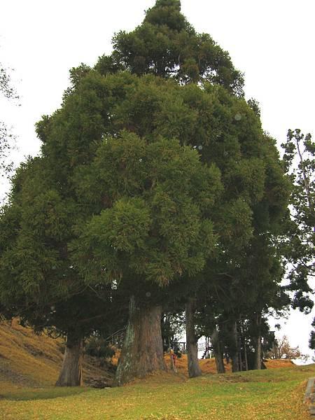 16-01胖胖樹