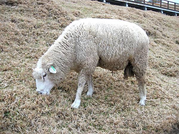 16-08綿羊