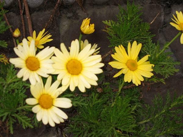 16-31花-瑪格麗特1