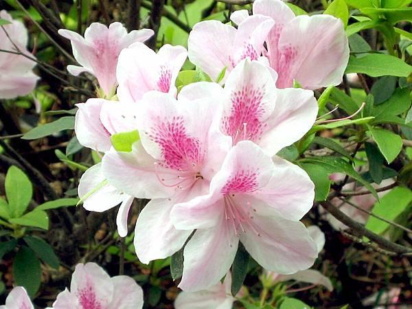 13-06杜鵑花