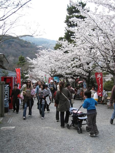 很幸運遇到櫻花盛開.JPG