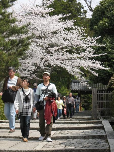 遍處可見櫻花盛開.JPG